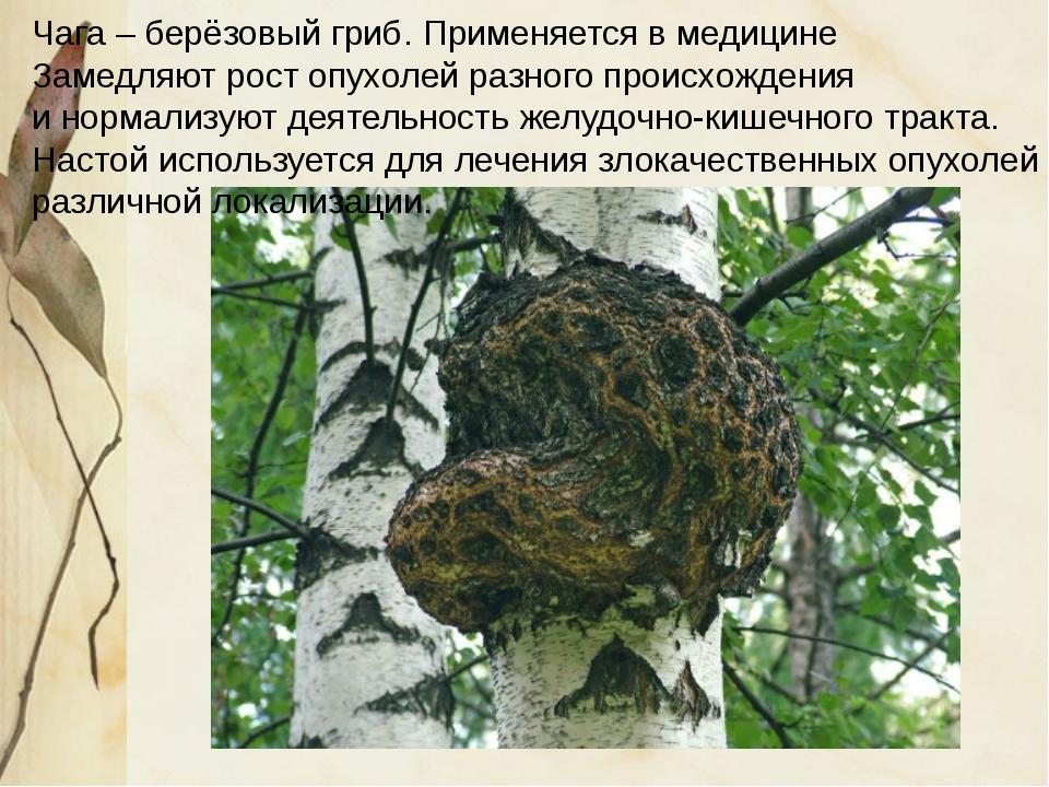 Чага – берёзовый гриб. Применяется в медицине Замедляют рост опухолей разног...