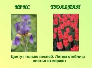 ИРИС ТЮЛЬПАН Цветут только весной. Летом стебли и листья отмирают