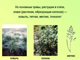 Но основные травы, растущие в степи, злаки (растения, образующие колоски) — к