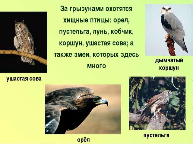 За грызунами охотятся хищные птицы: орел, пустельга, лунь, кобчик, коршун, уш...