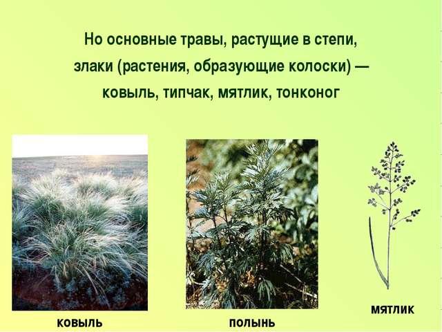Но основные травы, растущие в степи, злаки (растения, образующие колоски) — к...