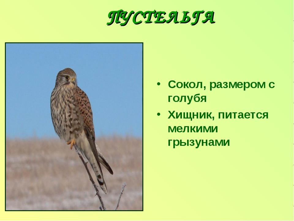 ПУСТЕЛЬГА Сокол, размером с голубя Хищник, питается мелкими грызунами