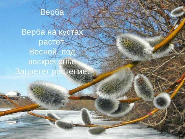 Верба Верба на кустах растет. Весной, под воскресенье Зацветет растение.