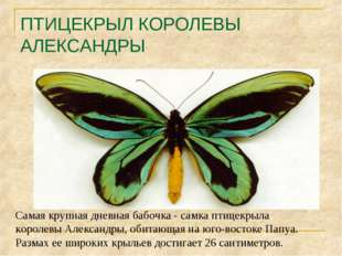 ПТИЦЕКРЫЛ КОРОЛЕВЫ АЛЕКСАНДРЫ Самая крупная дневная бабочка - самка птицекрыл