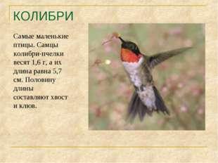 КОЛИБРИ Самые маленькие птицы. Самцы колибри-пчелки весят 1,6 г, а их длина р