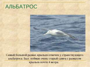 АЛЬБАТРОС Самый большой размах крыльев отмечен у странствующего альбатроса. Б