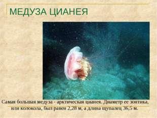 МЕДУЗА ЦИАНЕЯ Самая большая медуза - арктическая цианея. Диаметр ее зонтика,