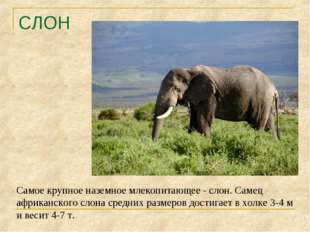 СЛОН Самое крупное наземное млекопитающее - слон. Самец африканского слона ср