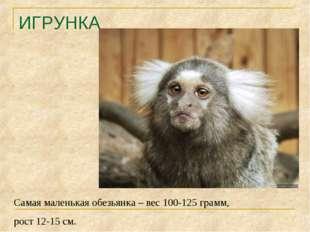 ИГРУНКА Самая маленькая обезьянка – вес 100-125 грамм, рост 12-15 см.