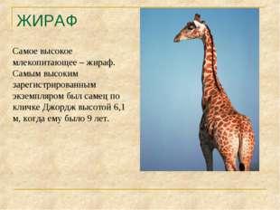 ЖИРАФ Самое высокое млекопитающее – жираф. Самым высоким зарегистрированным э