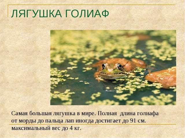 ЛЯГУШКА ГОЛИАФ Самая большая лягушка в мире. Полная длина голиафа от морды до...
