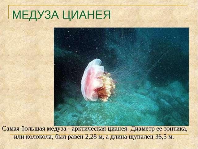 МЕДУЗА ЦИАНЕЯ Самая большая медуза - арктическая цианея. Диаметр ее зонтика,...