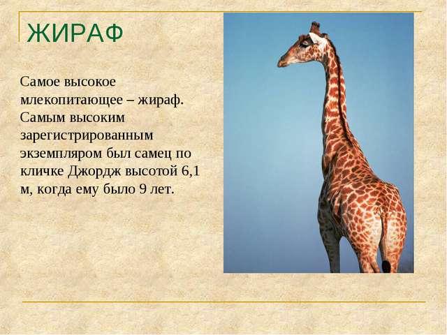 ЖИРАФ Самое высокое млекопитающее – жираф. Самым высоким зарегистрированным э...