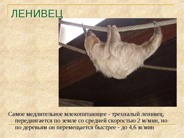 ЛЕНИВЕЦ Самое медлительное млекопитающее - трехпалый ленивец, передвигается п...