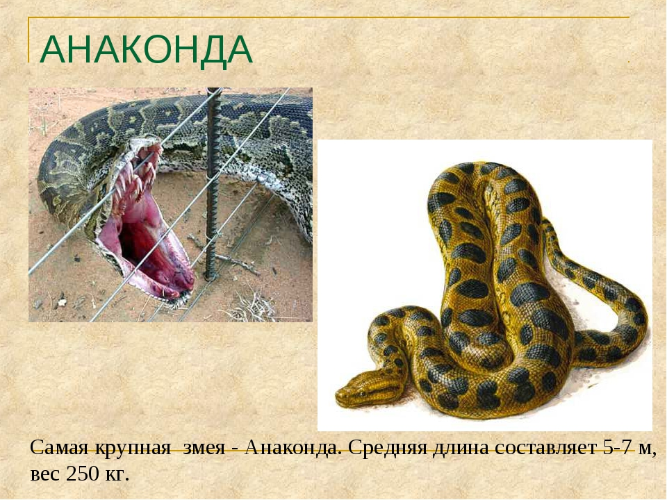 АНАКОНДА Самая крупная змея - Анаконда. Средняя длина составляет 5-7 м, вес 2...