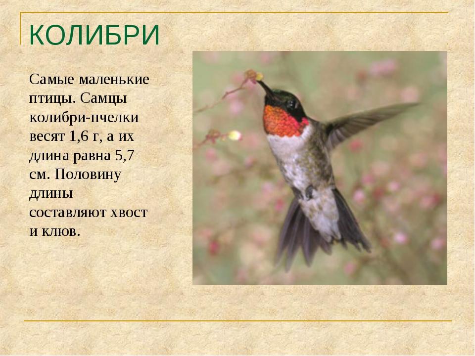 КОЛИБРИ Самые маленькие птицы. Самцы колибри-пчелки весят 1,6 г, а их длина р...