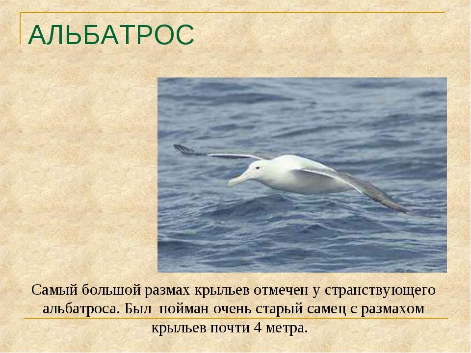 АЛЬБАТРОС Самый большой размах крыльев отмечен у странствующего альбатроса. Б...