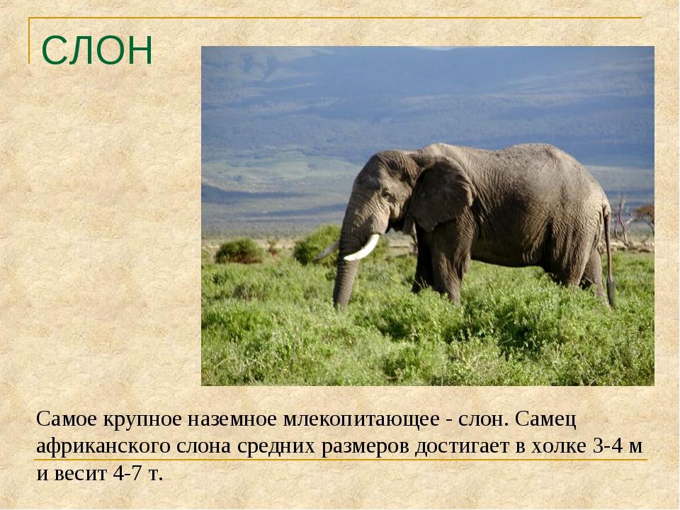 СЛОН Самое крупное наземное млекопитающее - слон. Самец африканского слона ср...