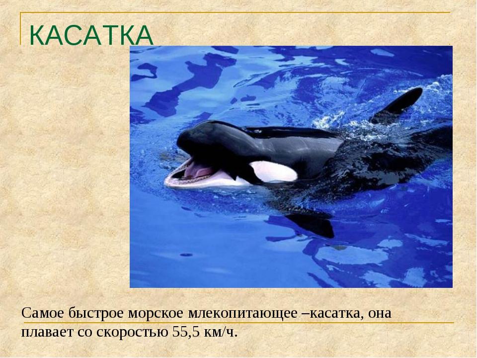 КАСАТКА Самое быстрое морское млекопитающее –касатка, она плавает со скорость...