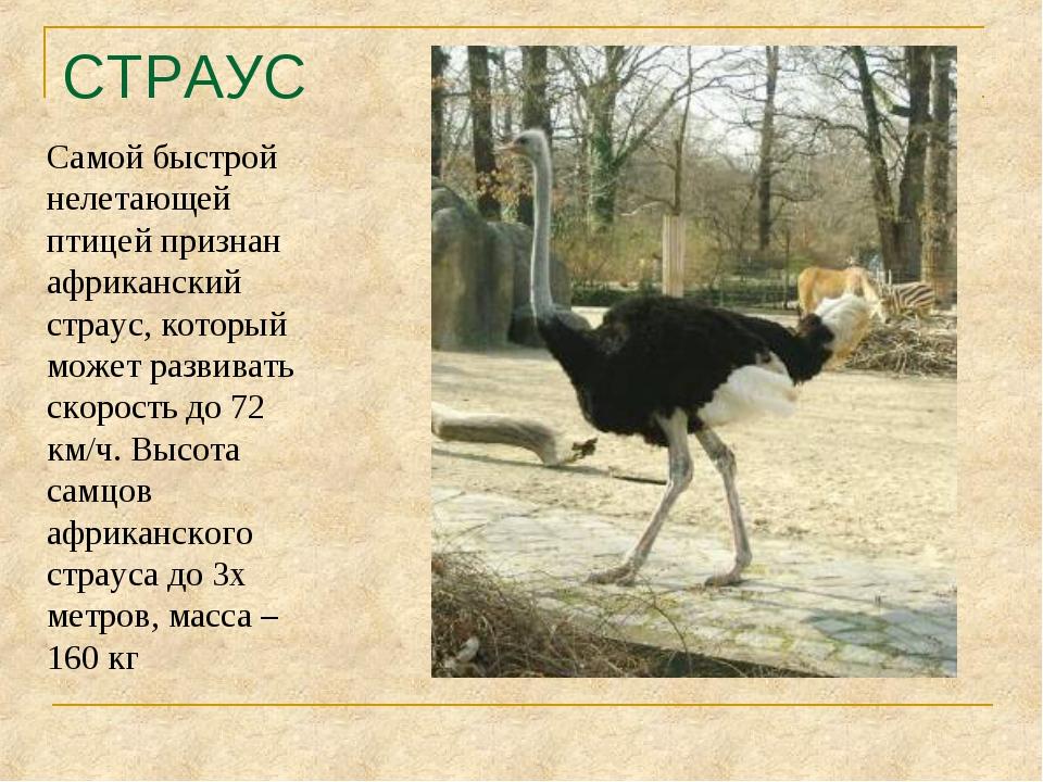 СТРАУС Самой быстрой нелетающей птицей признан африканский страус, который мо...