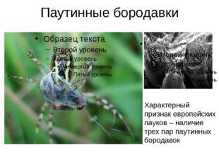 Паутинные бородавки Характерный признак европейских пауков – наличие трех пар