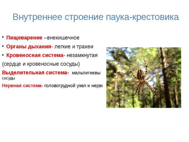 Внутреннее строение паука-крестовика Пищеварение –внекишечное Органы дыхания...