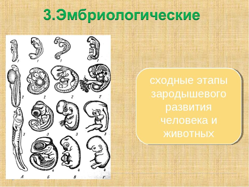сходные этапы зародышевого развития человека и животных