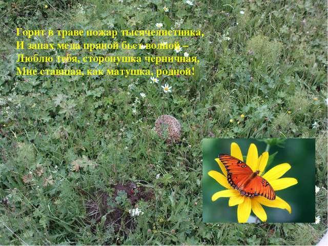 Горит в траве пожар тысячелистника, И запах меда пряной бьет волной – Люблю...