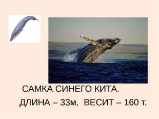 САМКА СИНЕГО КИТА. ДЛИНА – 33м, ВЕСИТ – 160 т.