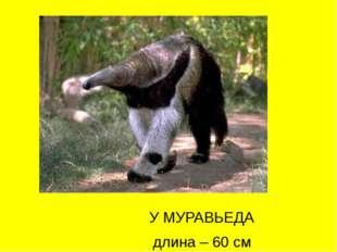 У МУРАВЬЕДА длина – 60 см