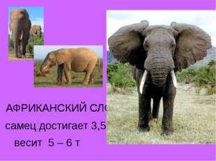АФРИКАНСКИЙ СЛОН самец достигает 3,5 – 4 и весит 5 – 6 т