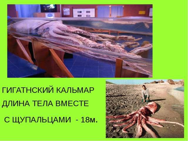 ГИГАТНСКИЙ КАЛЬМАР ДЛИНА ТЕЛА ВМЕСТЕ С ЩУПАЛЬЦАМИ - 18м.