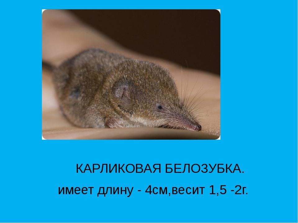 КАРЛИКОВАЯ БЕЛОЗУБКА. имеет длину - 4см,весит 1,5 -2г.