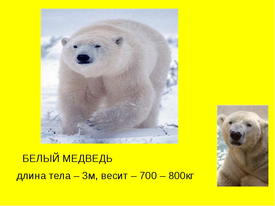 БЕЛЫЙ МЕДВЕДЬ длина тела – 3м, весит – 700 – 800кг
