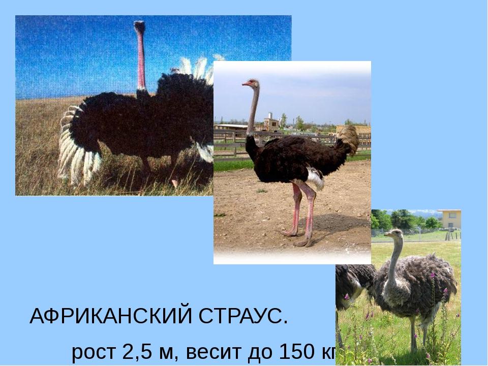 АФРИКАНСКИЙ СТРАУС. рост 2,5 м, весит до 150 кг