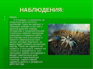 НАБЛЮДЕНИЯ: Охота. И птицееды, и скорпионы на некрупную дичь охотятся одинак
