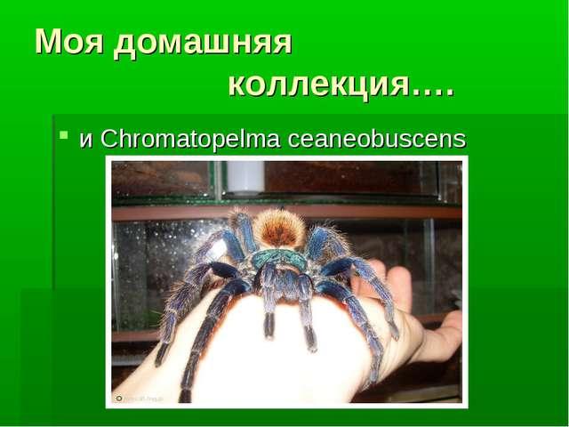 Моя домашняя коллекция…. и Chromatopelma ceaneobuscens