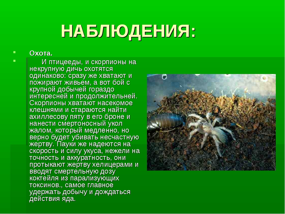 НАБЛЮДЕНИЯ: Охота. И птицееды, и скорпионы на некрупную дичь охотятся одинак...