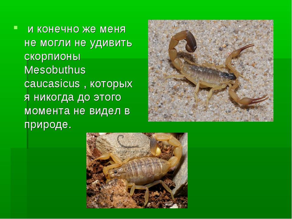 и конечно же меня не могли не удивить скорпионы Mesobuthus caucasicus, кото...