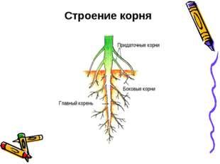 Строение корня Придаточные корни Боковые корни Главный корень