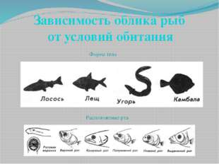 Зависимость облика рыб от условий обитания Форма тела Расположение рта