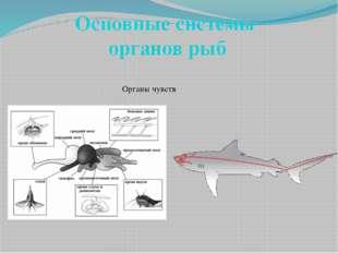 Основные системы органов рыб Органы чувств