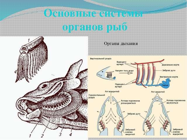 Основные системы органов рыб Органы дыхания
