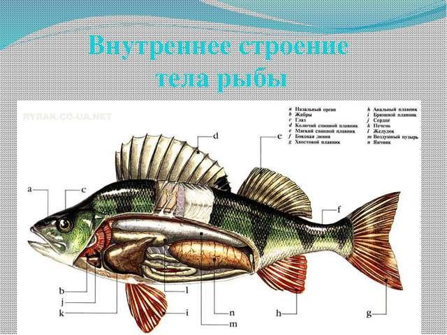 Внутреннее строение тела рыбы