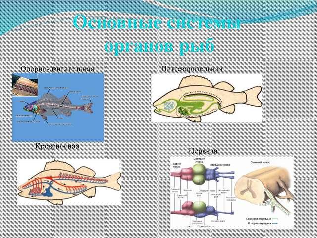 Основные системы органов рыб Опорно-двигательная Пищеварительная Кровеносная...