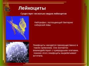 Лейкоциты Существует несколько видов лейкоцитов Нейтрофил, поглощающий бактер