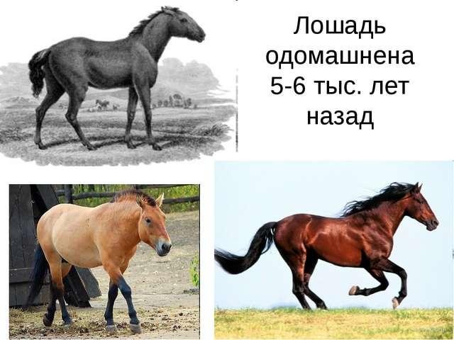 Лошадь одомашнена 5-6 тыс. лет назад