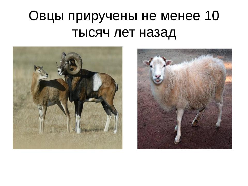 Овцы приручены не менее 10 тысяч лет назад