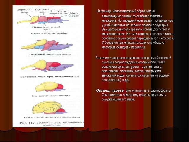Например, малоподвижный образ жизни земноводных связан со слабым развитием м...
