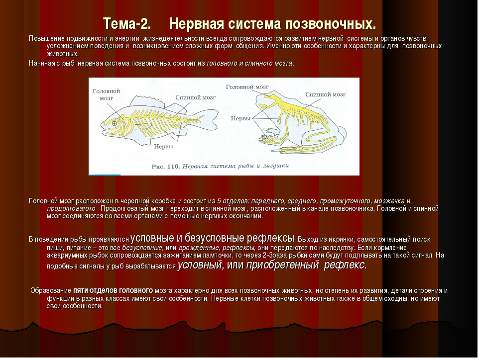 Тема-2. Нервная система позвоночных. Повышение подвижности и энергии жизнедея...